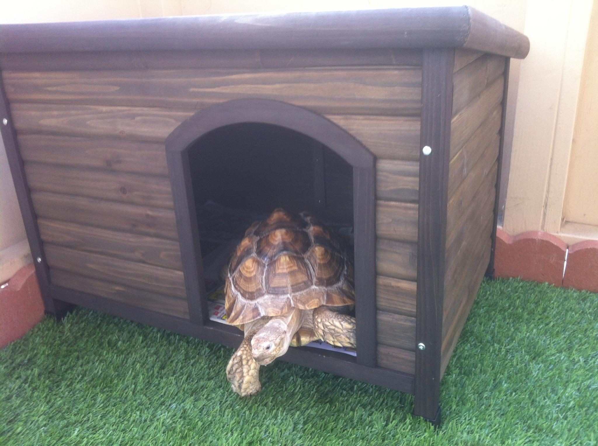Morty the Sulcata Tortoise investigating his new Boomer & George Log Cabin Dog House